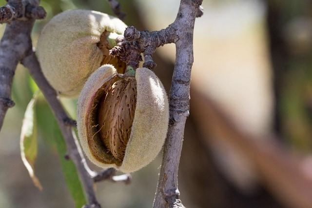 Owoc migdałowca /Czy warto jeść orzechy