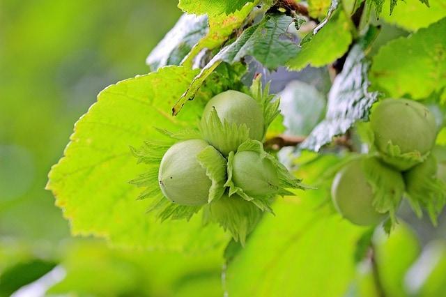 Owoc drzewa leszczyna