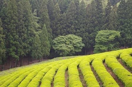 Plantacja zielonej herbaty
